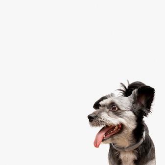 Adorável cachorrinho sem raça definida com a boca aberta olhando para a esquerda