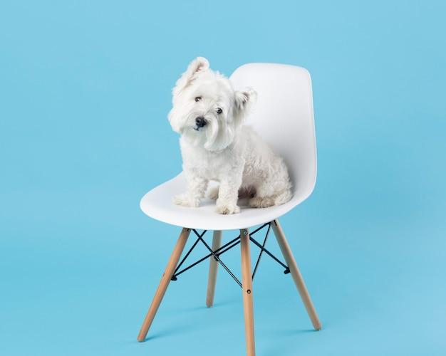Adorável cachorro branco sentado em uma cadeira