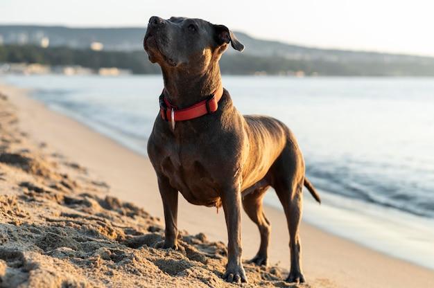 Adorável cachorro pitbull na praia