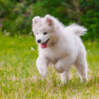 Adorável cachorro samoiedo está correndo e pulando