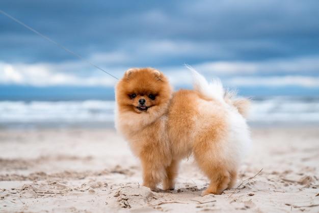 Adorável cachorro spitz da pomerânia sorrindo e correndo na praia
