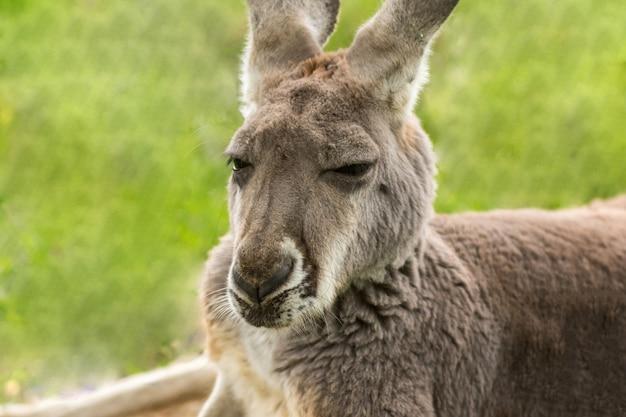 Adorável canguru peludo com orelhas compridas no zoológico