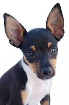 Adorável cão pequeno um fundo branco (foco no olho)