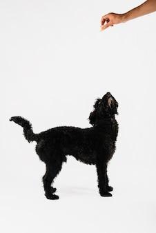 Adorável cão preto posando com fundo branco