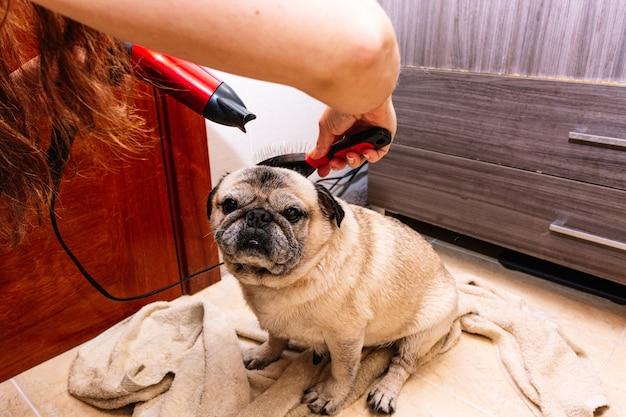 Adorável cão pug na banheira em casa preparando-se para um banho reconfortante com água quente. conceito de cuidados com animais de estimação, cuidados com o casaco e higiene do cão.