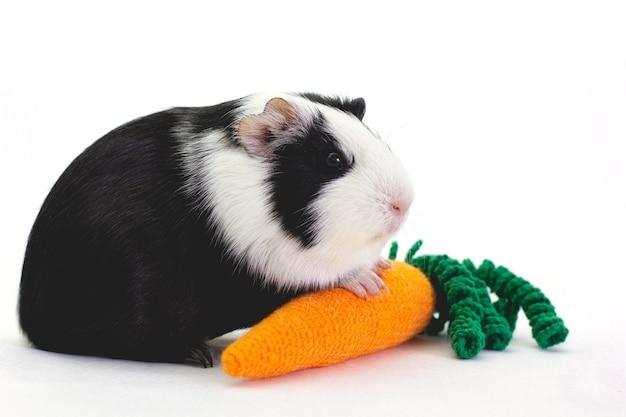 Adorável cobaia com uma cenoura isolada no branco