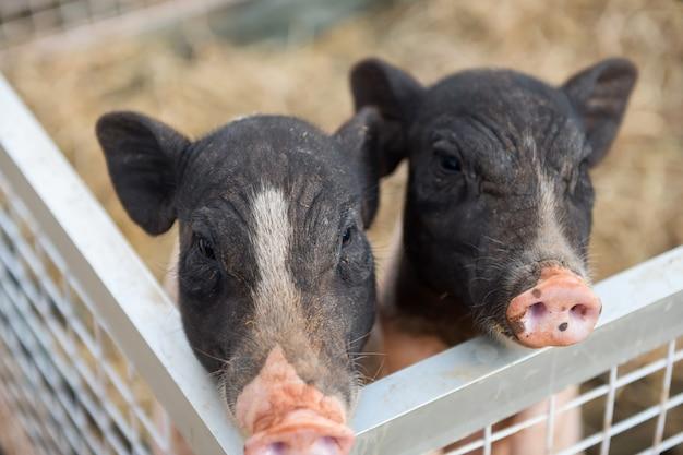 Adorável dois leitão ou porcos na fazenda
