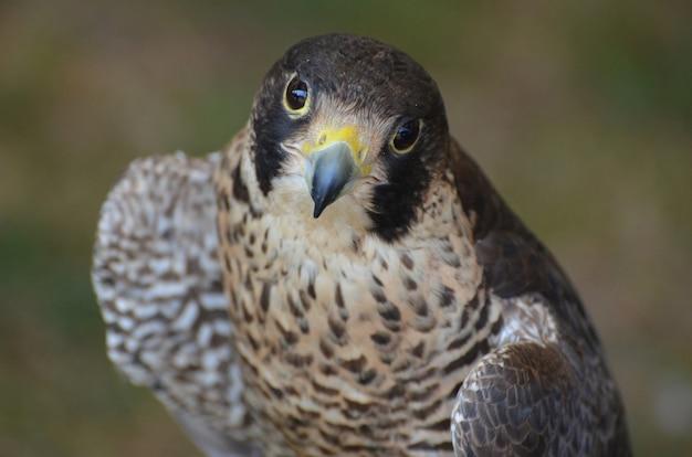 Adorável falcão emplumado olhando para uma câmera