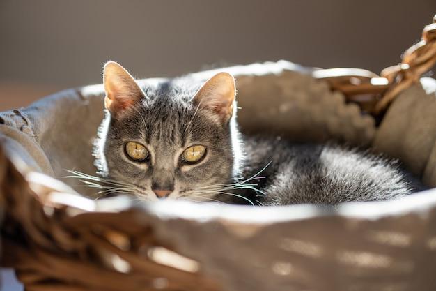 Adorável felino de olhos verdes, sentado em casa, relaxando e olhando para a câmera.