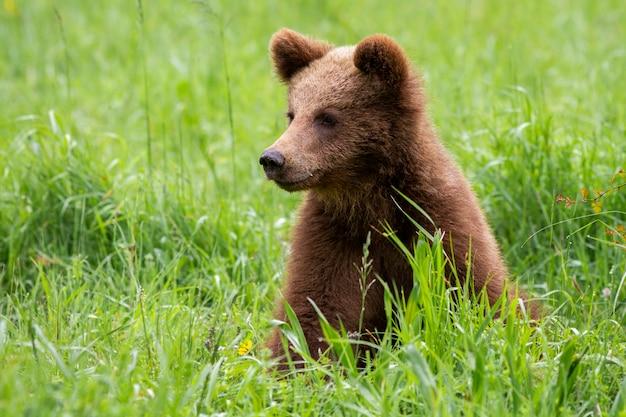 Adorável filhote de urso marrom sentado na natureza da primavera com a natureza turva verde