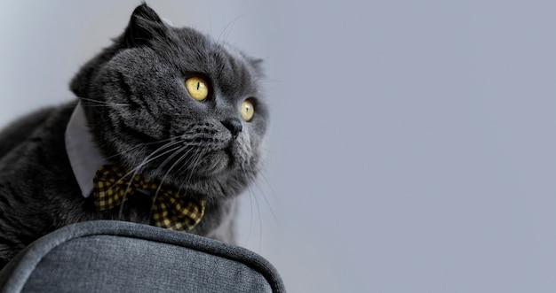 Adorável gatinho de pêlo curto britânico com parede monocromática atrás dela