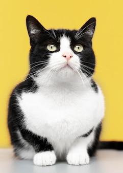 Adorável gatinho preto e branco com parede monocromática atrás dela
