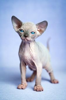 Adorável gatinho sem pêlos da raça canadense de gatos sphynx em pé sobre um fundo azul, olhando para a câmera