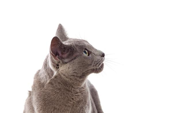 Adorável gato cinzento com olhos verdes