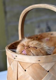 Adorável gato persa domético vermelho sentado em uma cesta de vime, conceito de amor para animais de estimação