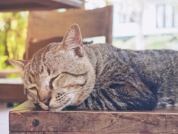 Adorável gato preguiçoso tailandês animal de estimação em casa