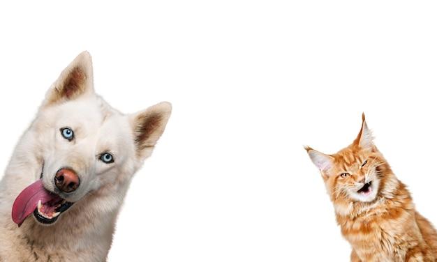 Adorável gato vermelho e husky siberiano branco