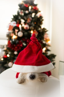 Adorável, jaque, russell, cão, em, vermelho natal, natal, chapéu, deitado, sob, natal, árvore