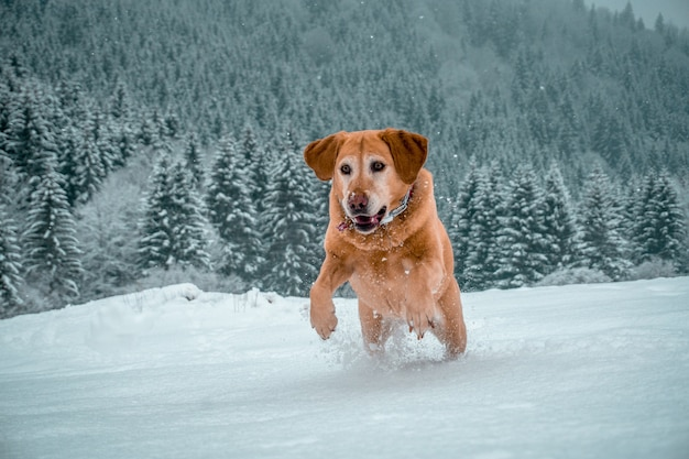 Adorável labrador retriever correndo em uma área nevada cercada por muitos abetos verdes
