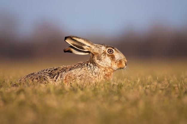 Adorável lebre marrom deitado no chão e se escondendo na primavera.