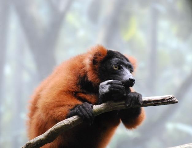 Adorável lêmure de babados vermelho comendo um lanche em um galho de árvore.