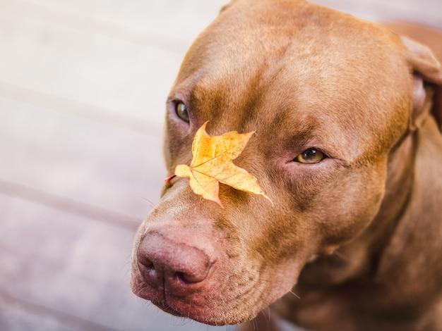 Adorável, lindo cachorrinho de cor chocolate. close-up, ao ar livre. luz do dia. conceito de cuidado, educação, treinamento de obediência, criação de animais de estimação