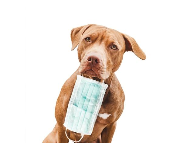 Adorável, lindo cachorrinho de cor chocolate. close-up, dentro de casa. luz do dia. conceito de cuidado, educação, treinamento de obediência, criação de animais de estimação
