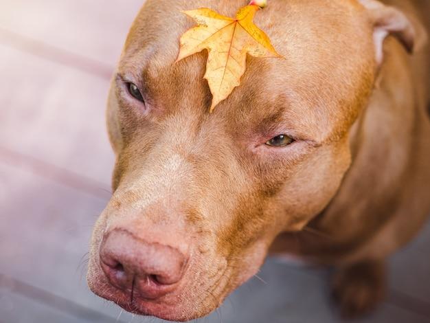 Adorável, lindo cachorrinho de cor chocolate. fechar-se