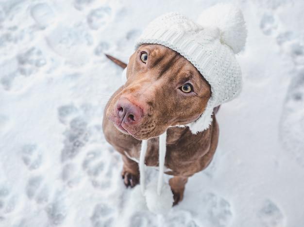 Adorável, lindo cachorrinho de cor chocolate.