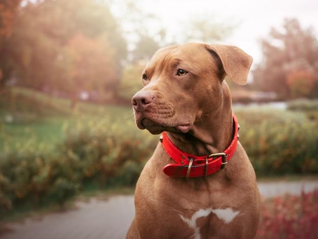 Adorável, lindo cachorrinho de cor marrom. close-up, ao ar livre. luz do dia. conceito de cuidado, educação, treinamento de obediência, criação de animais de estimação