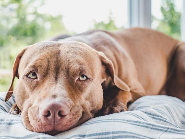 Adorável, lindo cachorrinho de cor marrom. close-up, dentro de casa. luz do dia. conceito de cuidado, educação, treinamento de obediência e criação de animais de estimação