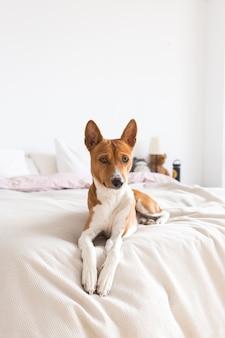 Adorável, lindo e fofo cachorro basenji canino descansando na cama, cachorro solitário espera pelo dono em casa