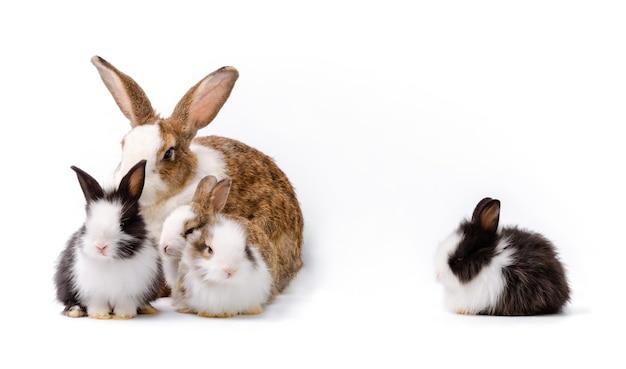Adorável mãe com quatro bebês coelhos isolados no fundo branco