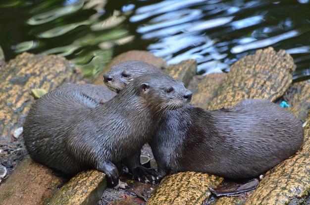 Adorável par de lontras de rio carinhosas sentados juntos em uma ponte de toras.