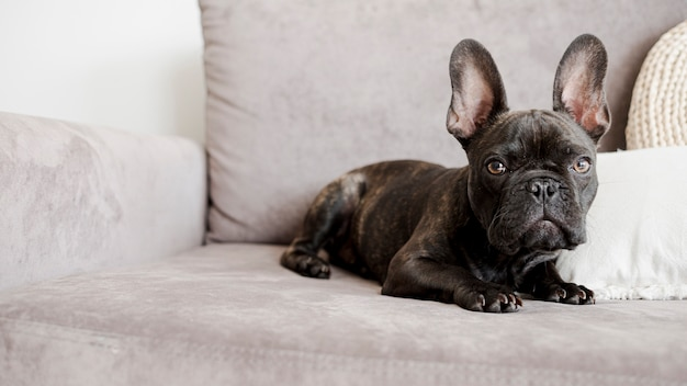 Adorável pequeno bulldog francês