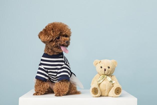 Adorável poodle com um ursinho de pelúcia em uma superfície azul