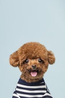 Adorável poodle na parede azul