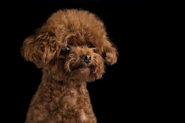 Adorável poodle na parede preta