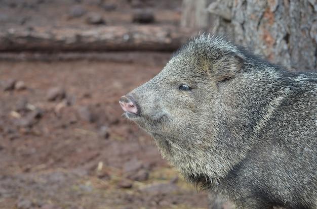 Adorável porco selvagem javerlina olhando para algo
