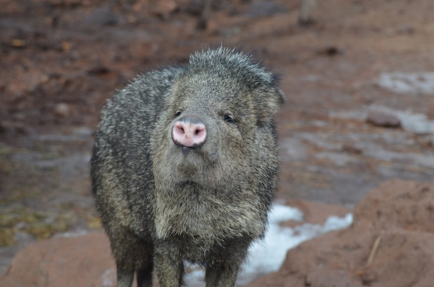 Adorável porco selvagem javerline parado na lama