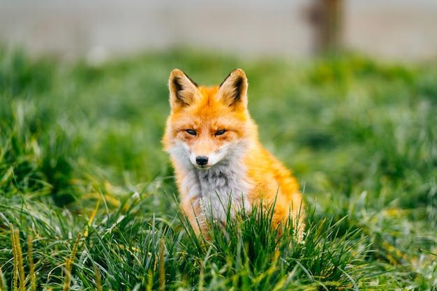 Adorável raposa vermelha sentado na grama
