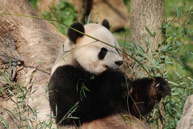 Adorável urso panda gigante comendo brotos de bambu