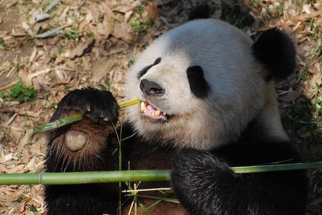 Adorável urso panda segurando bambu enquanto o come.