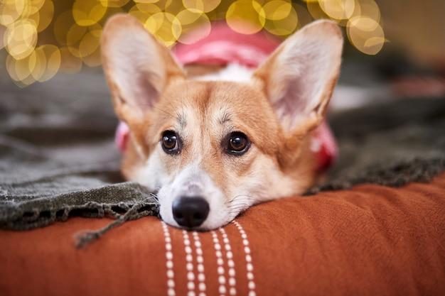 Adorável welsh corgi pembroke com um suéter de malha vermelha celebrando o feliz ano novo e o feliz natal