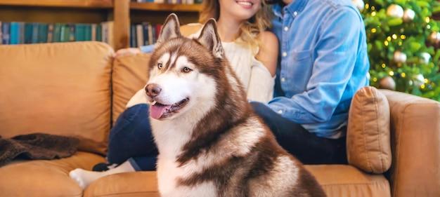 Adulto cão husky em casa com os proprietários.