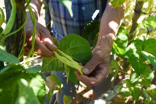 Adulto mãos recolhendo feijão verde no jardim
