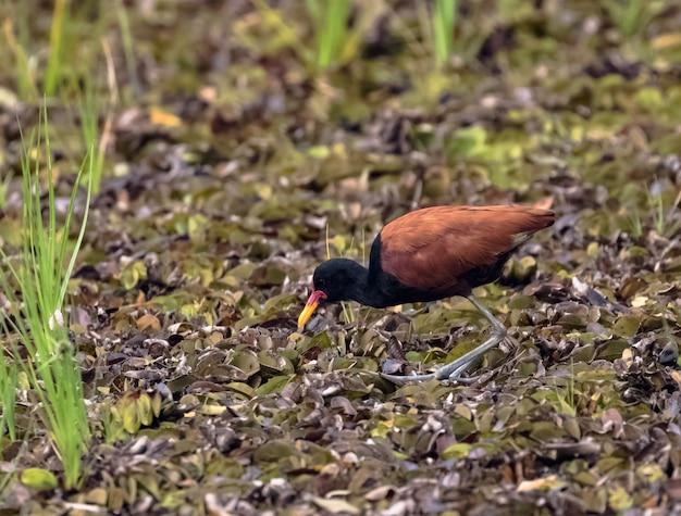 Aepypodius jacana andou em uma lagoa seca