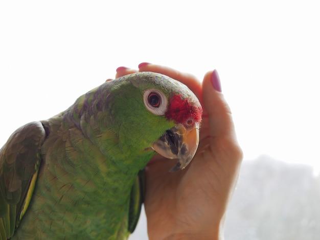 Afagou o papagaio sentado na mão.