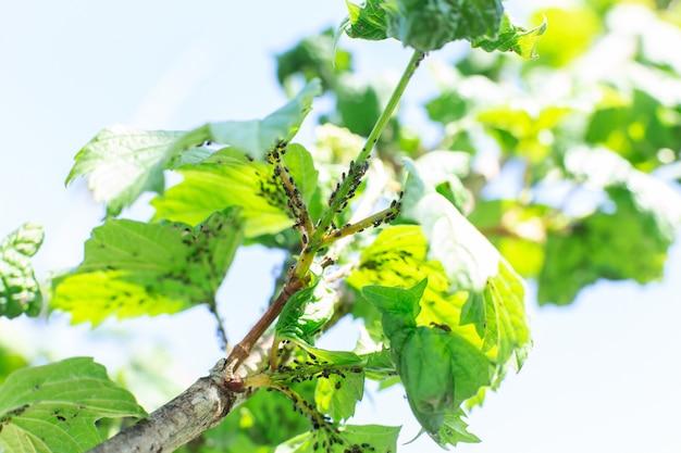 Afídio come folhas de uma árvore. doença de árvore.