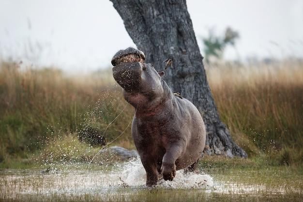 Africa hippopotamus amphibius
